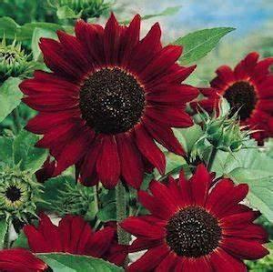 Red Sunflowers On Pinterest Pink Sunflowers Red Sunflower Wedding And Sunflower Arrangements