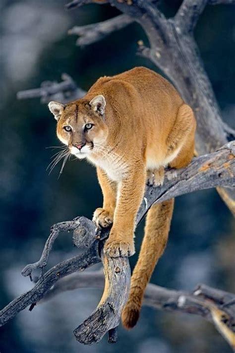 Best Images About Felinos Pinterest Golden Tiger