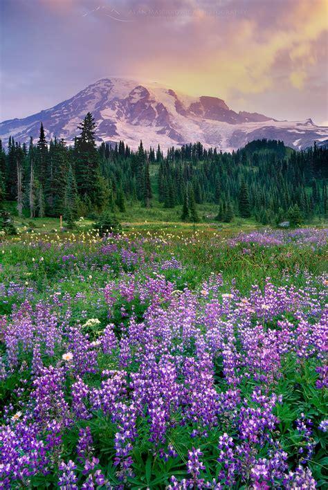 mount rainier paradise meadows wildflowers alan majchrowicz