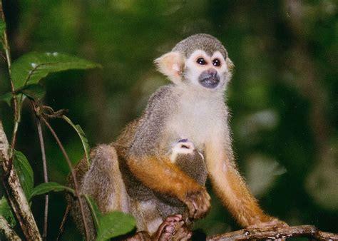 pet squirrel monkey nrdc