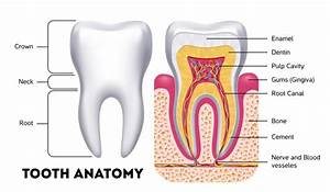 The Anatomy Of Your Teeth