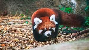 Cute Red Panda Cubs Go Exploring ZooBorns YouTube