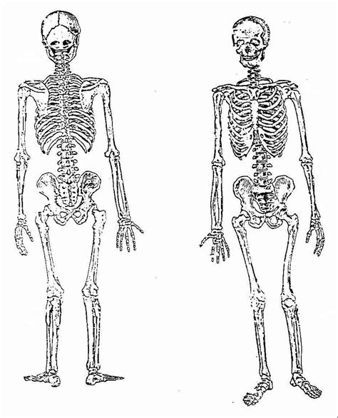 anatomy of a bone coloring axial skeleton coloring sheets coloring pages