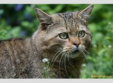Wild Cats List With Pictures & Facts All Types Of Wild Cats
