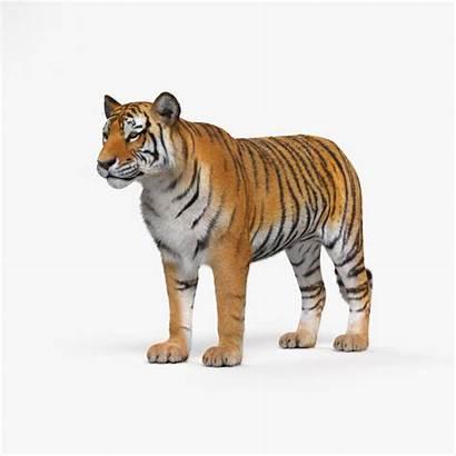 Tiger 3d Hum3d Models Animals Turbosquid Mammal