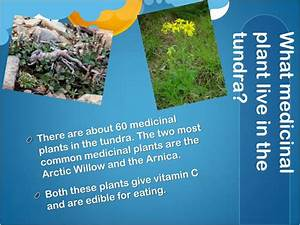 Ppt The Tundra Powerpoint Presentation Id1837621