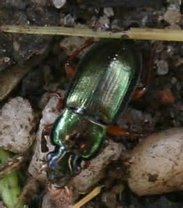Green Beetle Identification