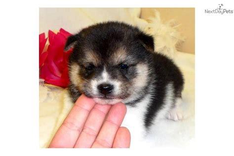 tri color shiba inu meet a shiba inu puppy for sale for 1 125 seth
