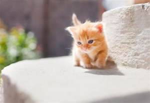 munchkin cats pictures of munchkin kittens pictures of animals 2016