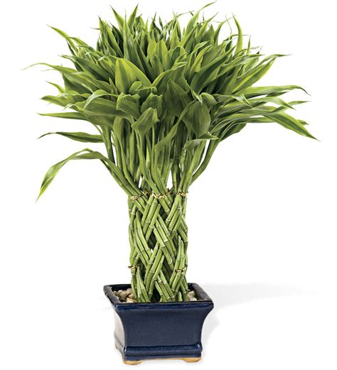 bamboo plants windweather triple braided lucky potted bamboo plant live plants and bulbs gigalinks