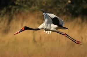 free house plans saddle billed stork
