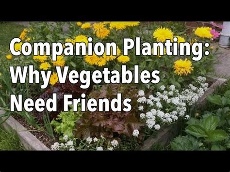 companion planting flowers  vegetables video