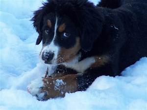 Bernese Mountain puppy playing in snow - Copy.jpg Hi-Res ...