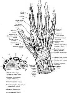 Hand Extensor Tendon Anatomy