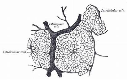 Liver Enzymes Elevated Commons Yahoo Wikimedia Failure