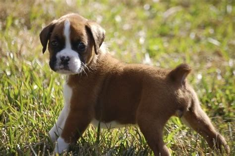 Best 20+ Boxer Puppies Ideas On Pinterest