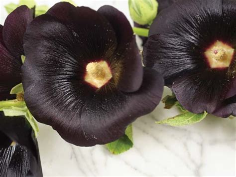 jet black  nigra hollyhock baker creek heirloom seeds
