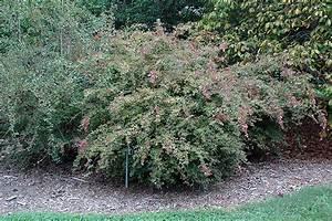 Edward Goucher Abelia (Abelia x grandiflora 'Edward