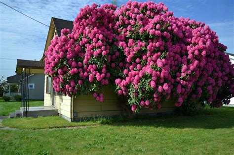 The Outlaw Gardener The House Eating Rhododendron