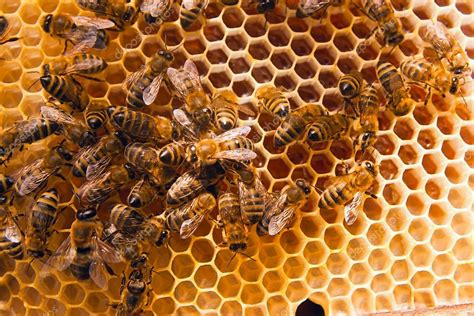 Abelhas trabalhando no favo de mel amarelo com mel doce