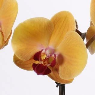 bosjes bloemen verzenden phalaenopsis in glasvaas paars thuisbloemist orchidee