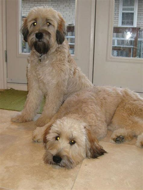 wheaten poodle puppy photo gallery benji kennels guelph