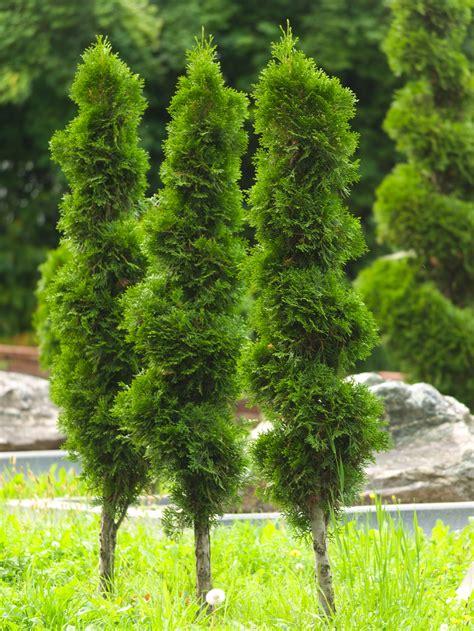 Mūžzaļais krāšņums dārzā: kā pareizi stādīt un kopt tūjas ...