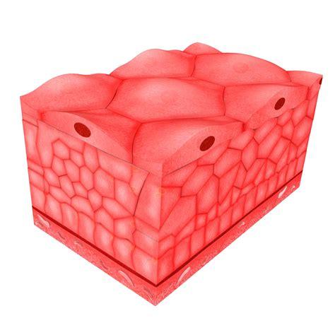 epithelial tissue  skin