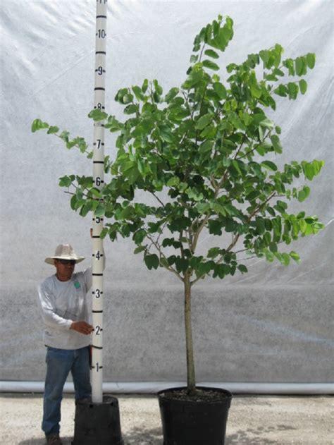 hong kong orchid tree bauhinia blakeana davenports wholesale nursery
