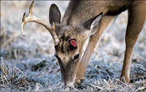 when do whitetails lose their antlers 100 deer antler shedding season 10 awesome photos