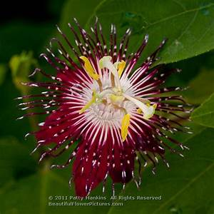 Lady Margaret Passion Flowers :: Beautiful Flower Pictures ...