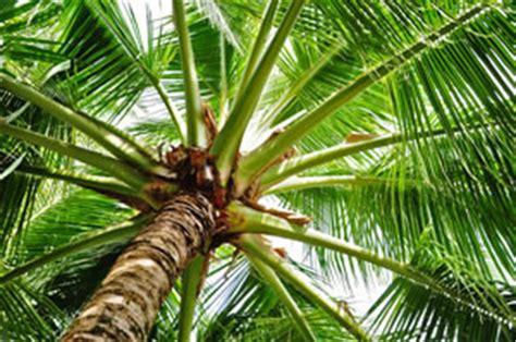 Kokospalme  Pflege Als Zimmerpflanze