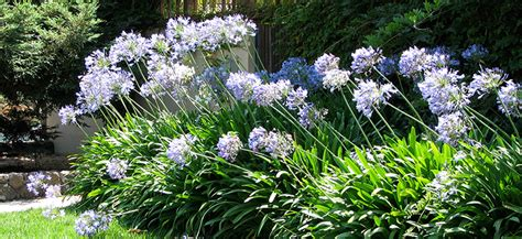 care of agapanthus agapanthus care flower power