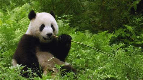 baby panda bear wallpaper  images