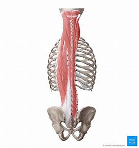 Deep Back Muscles  Anatomy  Innervation And Functions