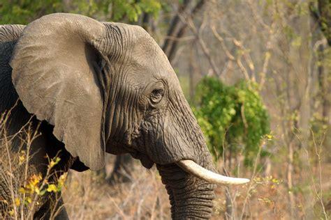 trump admin   elephant head trophies  individual