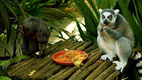 Lemur Monkey And Saki Monkey Eating Food And Fruits In