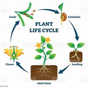 Plant Life Cycle Vector Illustration Labeled Educational