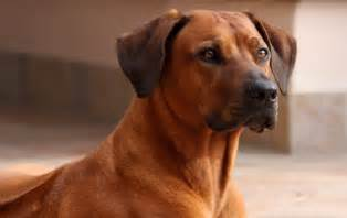 zola the rhodesian ridgeback a big s