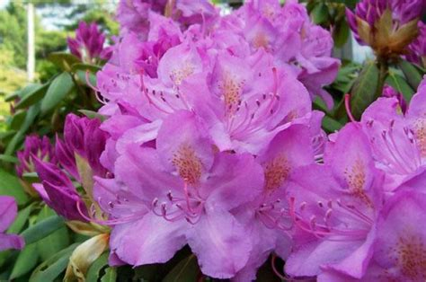 rhododendron photos rhododendrons and azaleas how to plant grow and care for rhododendron and azalea bushes the