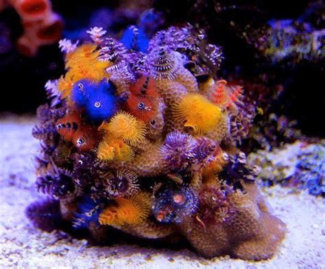xmas tree worm rock porites corals might be due for a