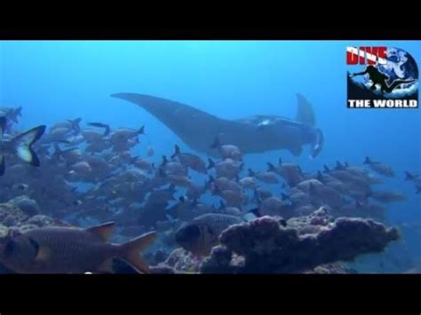 diving the maldives scuba diving with manta rays sharks and more best maldives dive