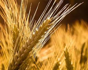 Barley Wallpaper Plants Nature Wallpapers In Jpg Format