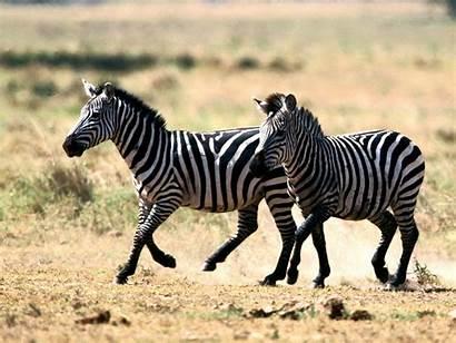 Zebra Zebras Animal Wallpapers Desktop 3d Nature