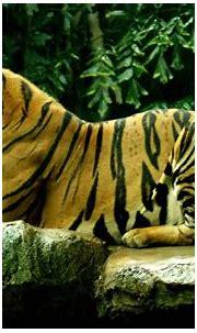 HD Bengal Tiger Background | PixelsTalk.Net