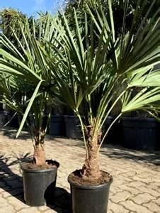 Welche Erde Für Palmen : zitronenlust onlineshop f r mediterrane pflanzen und b ume marumi rundkumquat fortunella ~ Watch28wear.com Haus und Dekorationen