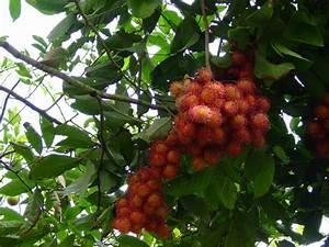 Arbre A Fruit : caribfruits ramboutan fruits tropicaux ~ Melissatoandfro.com Idées de Décoration