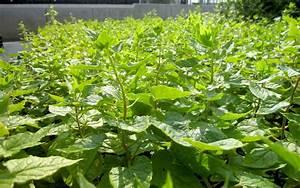 Japanischer Spinat Pflanze : kaukasischer rankspinat pflanze hablitzia tamnoides spinat salbei s holz pflanzen ~ Frokenaadalensverden.com Haus und Dekorationen