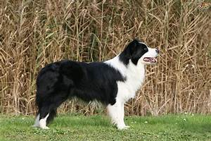 Border Collie | Dog Breed Facts, Highlights & Advice ...