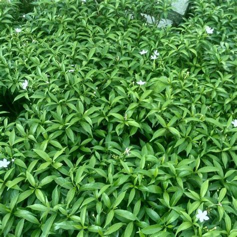 jual tanaman hias melati melati mini lapak tanaman